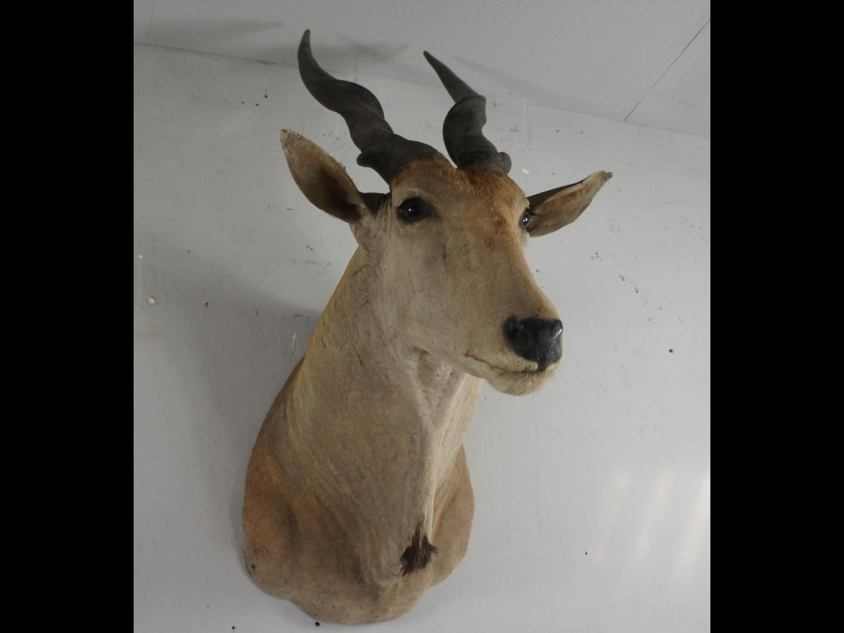 20th Century Large African Giant Eland Taxidermy Shoulder Mount Antlers