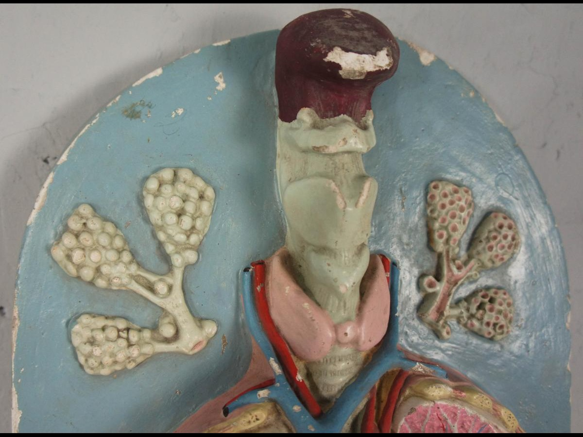 20th Century Painted Plaster Human Anatomy Model of Lungs