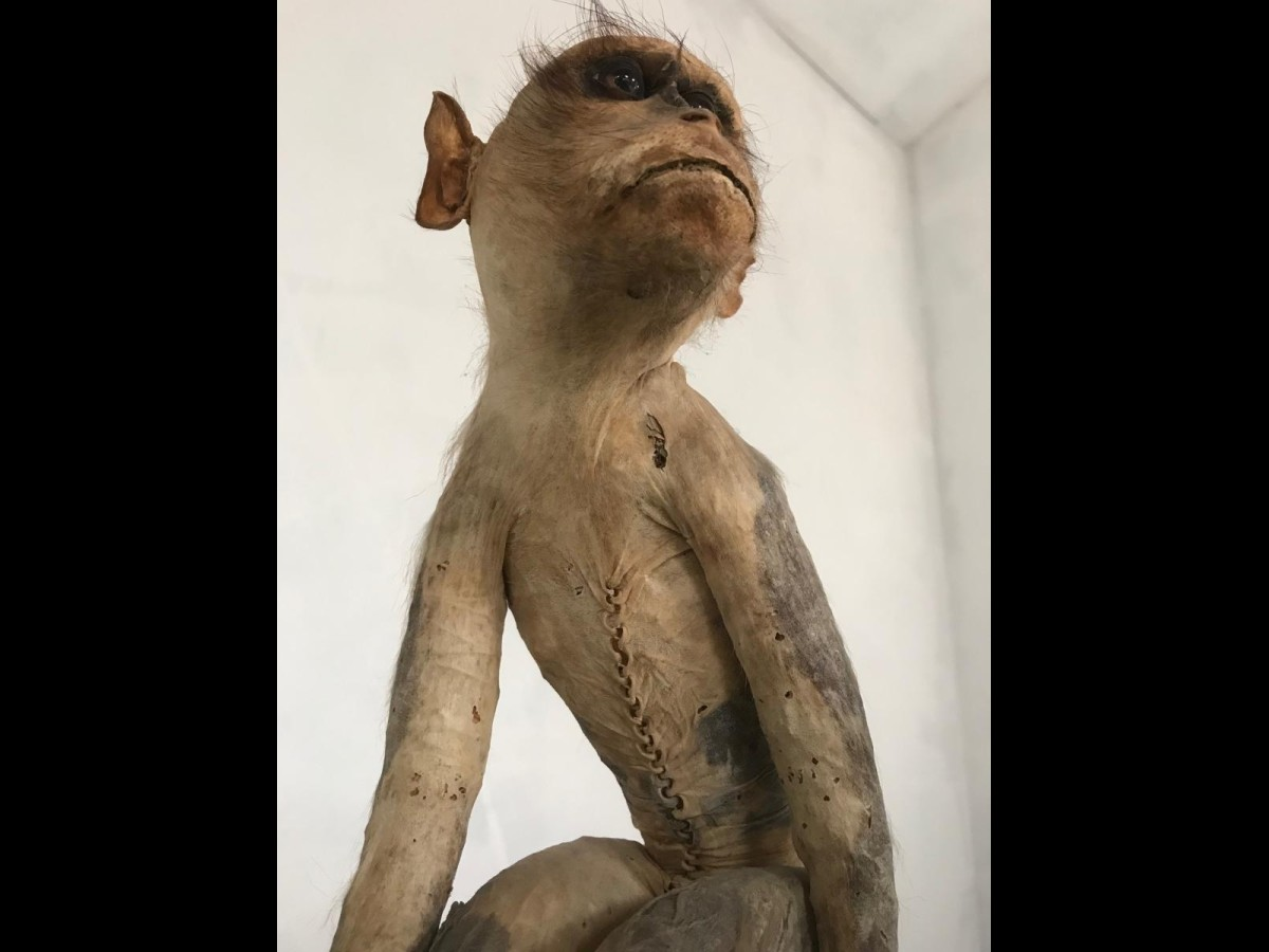 19th Century Victorian Stuffed Macaque Monkey Taxidermy Collectible Curiosity